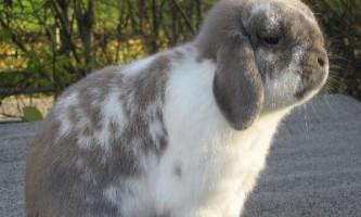 Карликові кролики породи баран