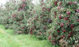 Карликові сорти яблунь: опис і догляд