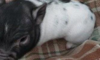 Карликові свині