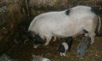Кишенькові - гібридна свиня