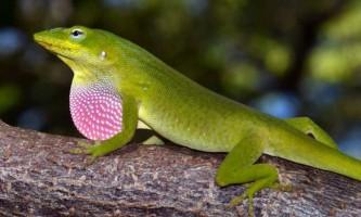 Каролінський анолис - ящірка з довгим хвостом