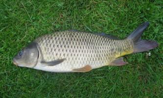 Короп: фото риби-довгожителя