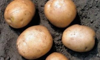 Картопля гала опис сорту