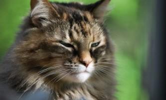 Кашель у кішки: причини, лікування