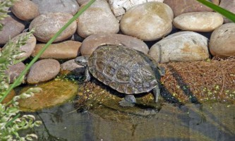 Каспійська черепаха