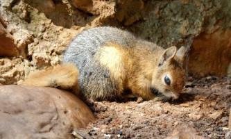 Кавказька білка - звір в пухнастою шубці