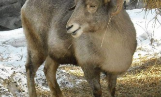 Казахстанський гірський баран - архар