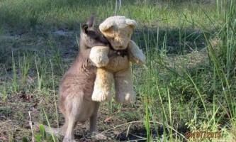 Кенгуренок-сирота знайшов кращого друга - плюшевого ведмедика