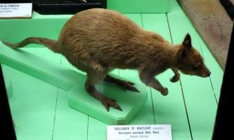 Кенгуру маклея - новогвінейський ендемік
