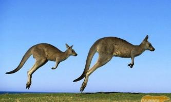Кенгуру - стрибки боксера