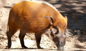 Кістеухая свиня