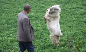 Китаєць навчив танцюючу козу охороняти будинок