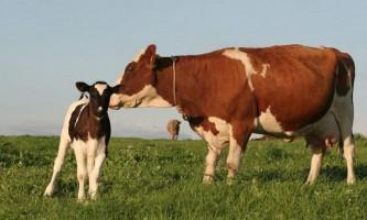 Китайська корова ню-ню, що з`явилася на світ в результаті клонування, народила теля