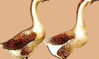 Китайська порода гусей