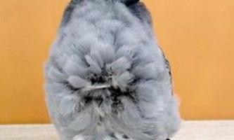 Китайські чайки (голуби)