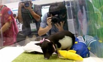 Китайські генетики створили новий вид домашніх свиней