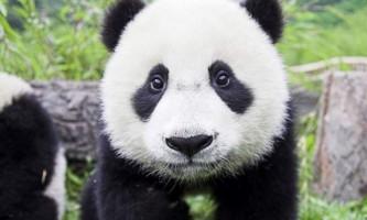 Китайські вчені розгадали мову панд