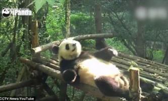 Китайські вчені склали словник мови панд