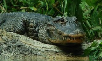 Китайський алігатор - рідкісний вид рептилії