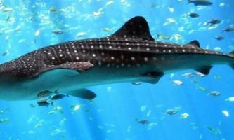 Китова акула - найбільша серед риб