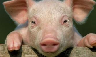 Камерону «підклали» мертву свиню: скандал в британському уряді