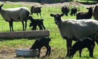 Породи овець