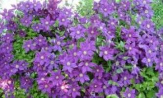 Клематиси посадка і догляд за диво-квітами