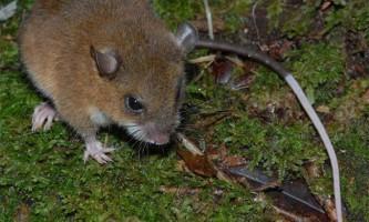 Клітини мишей в стресі врятували від депресії їх родичів