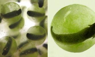 Клітини водорості виростили сонячну саламандру