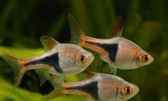 Клиновидна рибка - гетероморфа