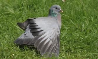 Клинтух - євразійський голуб