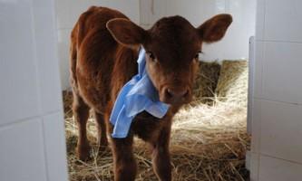 Клонована аргентинська корова даватиме людське молоко