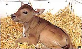 Клоновані корови зробили революцію в сироварінні