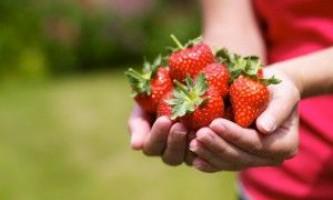 Полуниця: садимо і доглядаємо