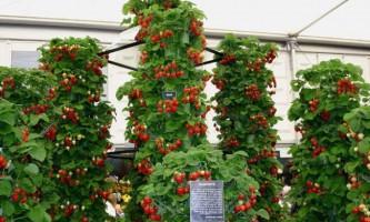 Полуниця в трубах: вирощуємо правильно