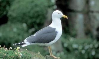 Квочка - новий вид чайки