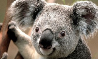 Коала, або австралійський ведмедик