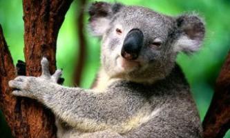 Коала допоміг австралійському бару привернути відвідувачів