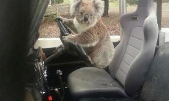 Коала спробувала викрасти машину у австралійських фермерів