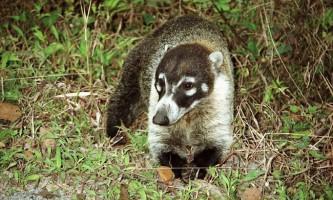 Коаті - довгоносий смішний звір
