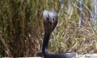 Кобри - що це за змії і в чому їх особливість?