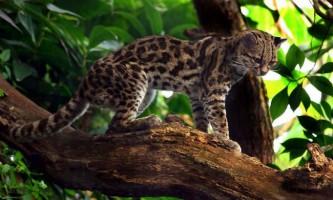 Кодкод - чилійська «кішка-вампір»