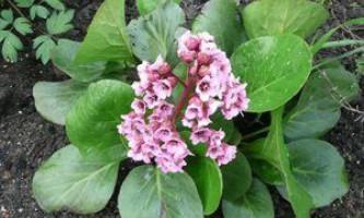 Коли і як садити бадан, правила догляду за квіткою
