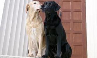 Коли починається і скільки днів триває тічка у собак? Які ознаки тічки?