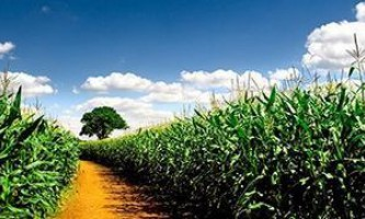 Коли необхідна жатка для прибирання кукурудзи?