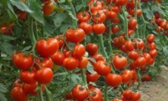 Коли потрібно підгодовувати розсаду помідорів і як це робити