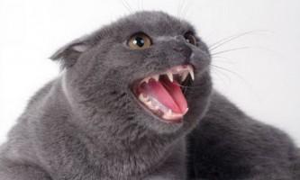 Коли у британських кошенят змінюються зуби
