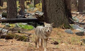 Койот - американський вовк