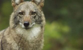 Койволк - вовк + койот