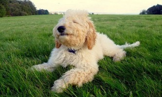 Кокапу елфі (alfie) офіційно визнана найщасливішою собакою великобритании